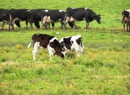 Llamado a interesados en participar del  Programa de entrenamiento en Sistemas Pastoriles de Producción Lechera Neozelandesa en Manuka Farms, Osorno, Chile