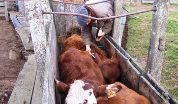 Uruguay inmunizará contra la fiebre aftosa a 11,5 millones de bovinos desde el 15 de febrero