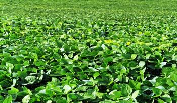 Uruguay se posiciona como proveedor de soja de calidad, con China como principal destino de las ventas