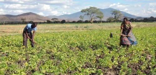 Pequeños agricultores de Tanzania reciben apoyo para mejorar la seguridad alimentaria ante la pandemia de COVID-19